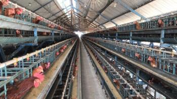 Kandang Ayam Petelor Aktif Tinggal Melanjutkan #1